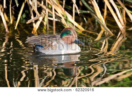 Green-winged Teal, aka Common Teal