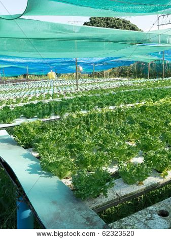 Hydroponic Vegetables In Farm.