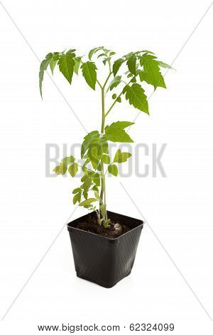 Tomato Seedling Plant