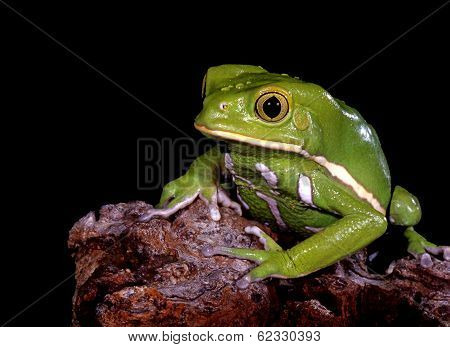 Waxy Monkey Tree Frog.