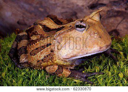Surinam Horned Frog.