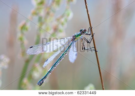 Colored Dragonfly In Dew Drops On A Meadow