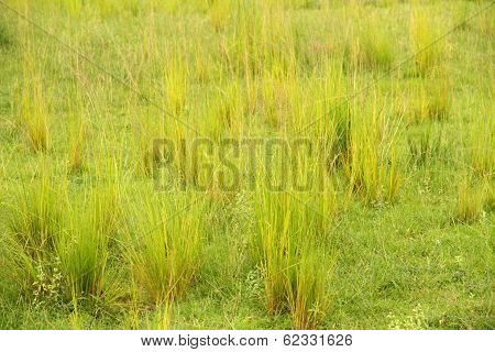 Bright Yellow Green Clumps Of Savannah Grass