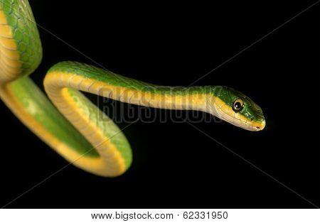 Rough Green Snake.