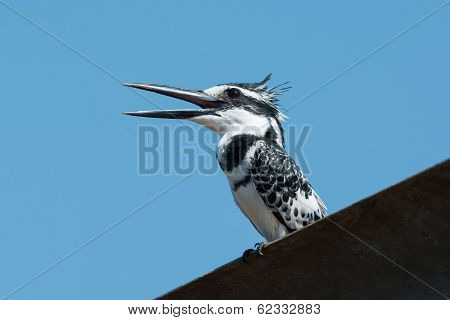 A Happy Male Pied Kingfisher (ceryle Rudis) Calling Out A Greeting