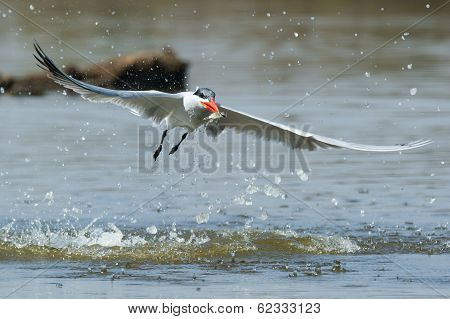 Caspian Tern Flying Away From A Dive A Fish