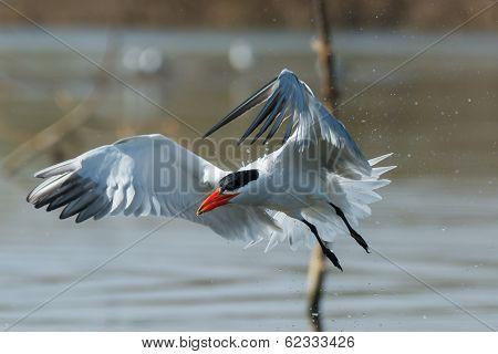 Caspian Tern In Flight Trailing Water Droplets
