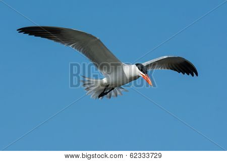 Caspian Tern In Flight With Tail Feathers Spread