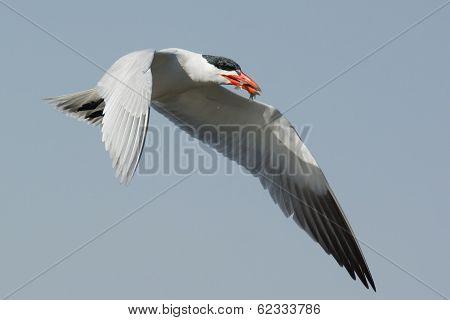 Caspian Tern In Flight With Two Small Fish In Its Beak