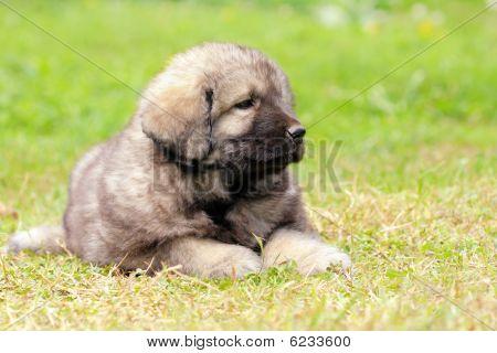 Sarplaninec, Macedonian Shepherd Dog