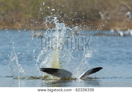 Caspian Tern With A Great Splash