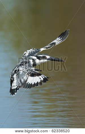 Pied Kingfisher Hovering In Flight Above Water