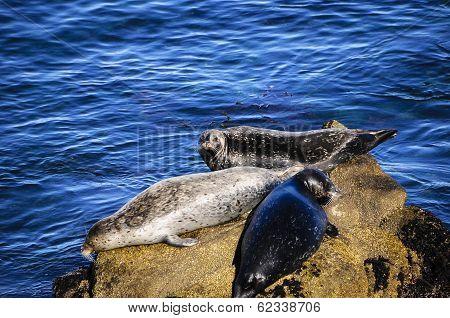 Three Harbor Seals
