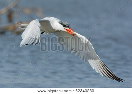 Wet Caspian Tern In Flight With A Small Fish