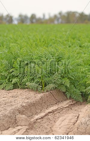 Carrots Growing in Field