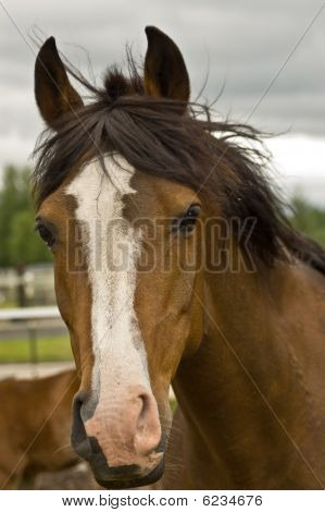 Brown Quarter horse Close Up
