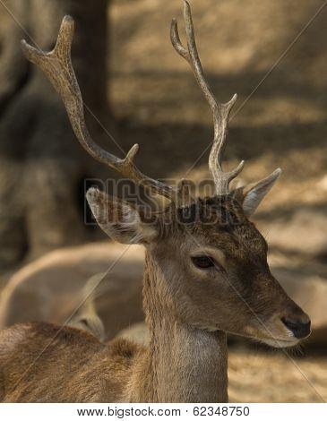 Young Iberian Deer