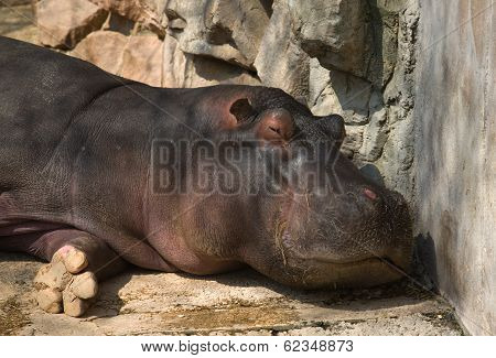 Sleepy Hippo