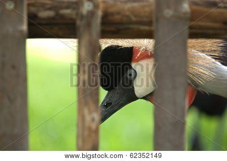 Closeup Crowned Crane