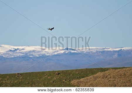 Peregrine Falcon And Snow Covered Mountains