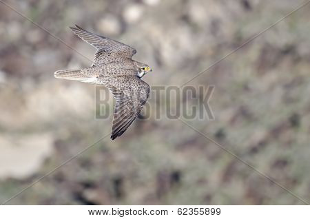Peregrine Falcon In Flight Viewed From Above