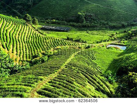 Tea Plantation Landscape. Chaing Rai Province, Thailand. Nature Background