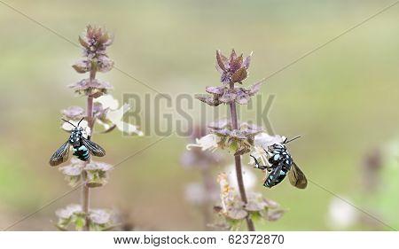 Australian Blue Neon Cuckoo Bees  Thyreus Nitidulus