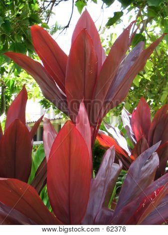 Hawaiian Red Ti