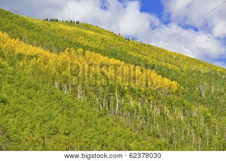 Autumn Foliage: Aspen Trees in Fall Colors