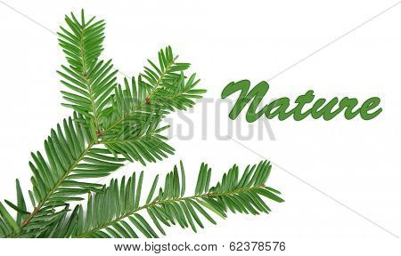 Beautiful yew twig, isolated on white