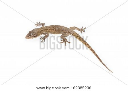 a common lizard isolated on white with soft shadow