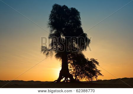 Beautiful tree landscape in Dubai desert, UAE