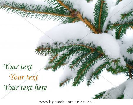 Fir Tree Branch Covered With Snow On White Background