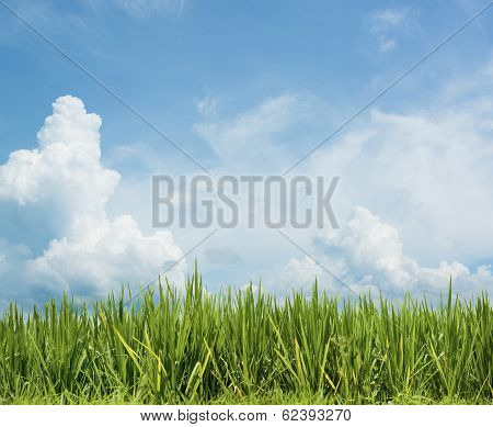 Grass And Beautiful Sky. Rice Field Floral Background