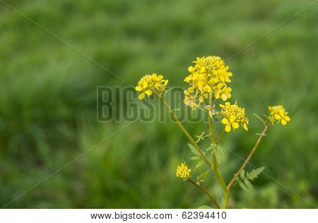 Closeup Of Blooming Field Mustard