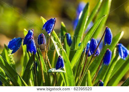 Scilla Blue Flowers
