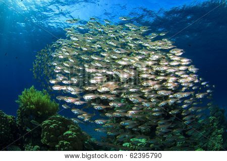 Schooling Fish: Glassfish or Golden Sweepers