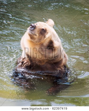 Big Brown Bear Shakes Off Water