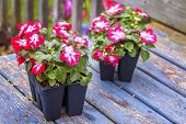 Greenhouse grown pack containing seedlings of impatiens plants (Impatiens wallerana)plants ready for