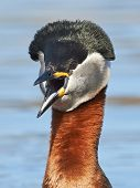 pic of grebe  - Closeup of the Red Necked Grebe in its habitat - JPG