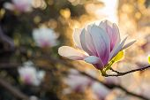 pic of magnolia  - magnolia flowers close up on a blur flower and leaves background in sun backlit - JPG