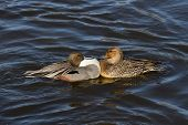 image of pintail  - Northern Pintail male and female close up - JPG