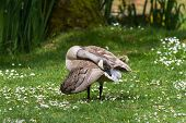 pic of canada goose  - White Canada Goose leucistic close up in canada - JPG