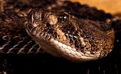 stock photo of western diamondback rattlesnake  - Closeup portrait of a Western Diamondback Rattlesnake - JPG
