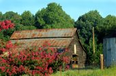 picture of crepe myrtle  - Morning sunlight warms rustic barn and flowering crepe myrtle in North Carolina countryside.  Fence surrounds barn.