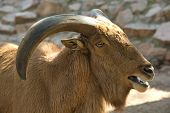 stock photo of north sudan  - A barbary sheep standing on a rock Ammotragus lervia - JPG