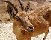 foto of nubian  - Nubian Ibex  - JPG