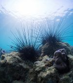 Underwater shot of sea urchins on a coral reef in tropical sea