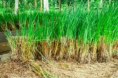 picture of sedimentation  - Vetiver grass  - JPG