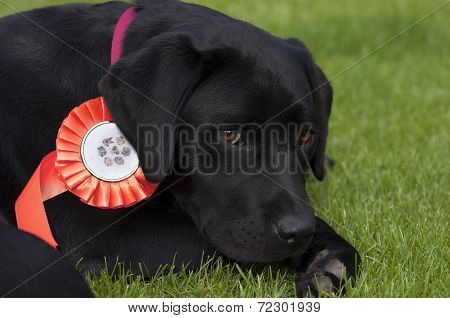 Labrador Pup with Red Rosette